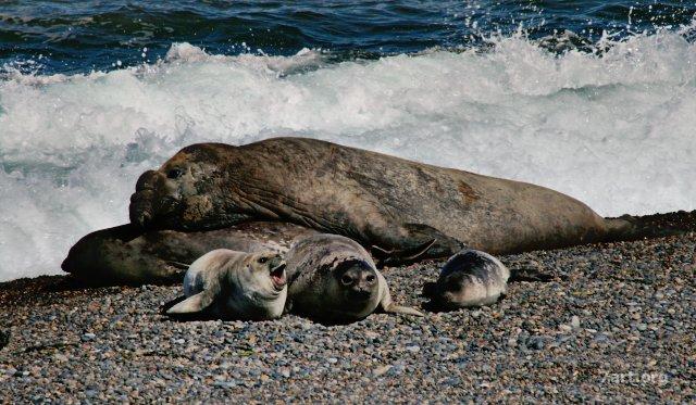 Lobos marinos en la Península Valdés