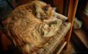 Miau (Fred)
